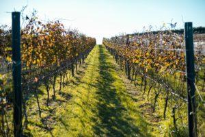 Vines, vines